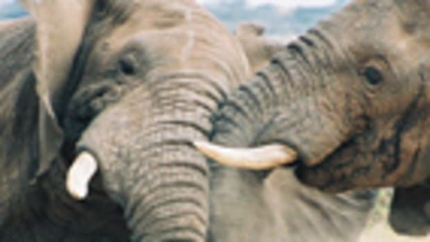 elephants_fighting_280