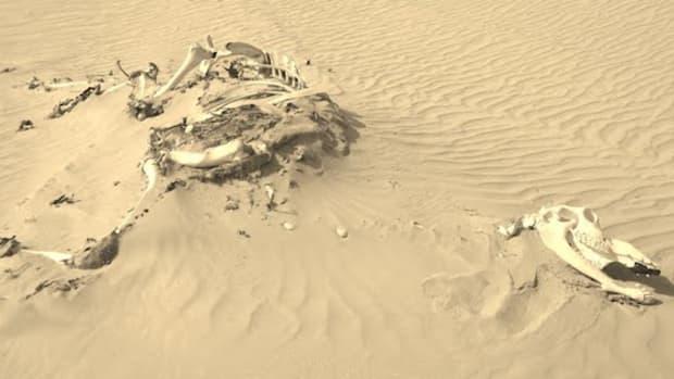 sepia camel skeleton bones