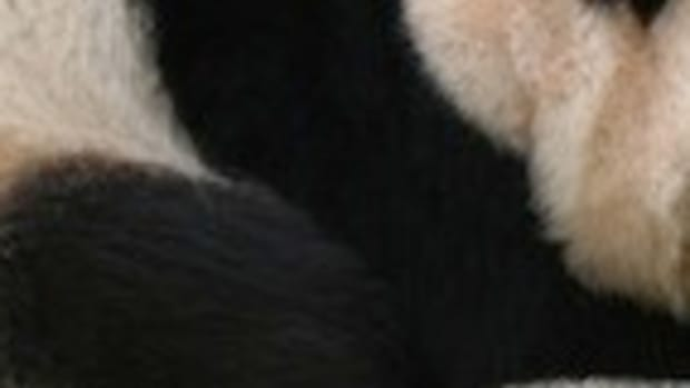 Giant_panda_at_Vienna_Zoo_(cropped)