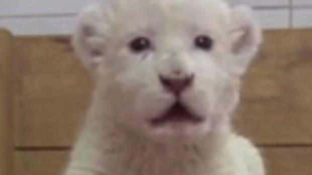 white_lion_cub_280