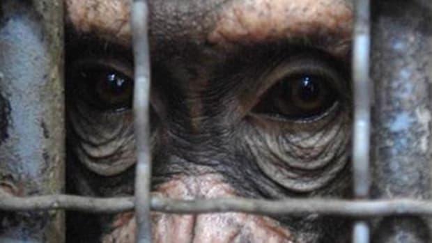 chimp_cage_2
