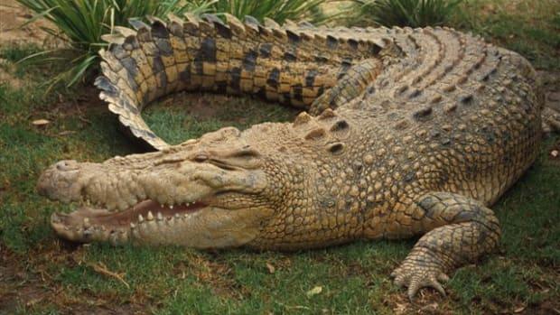http://www.animaldanger.com/images/crocodile.jpg