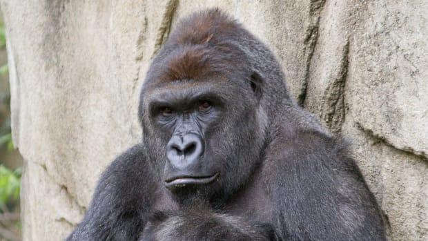 harambe_gorilla-1200x800.jpg