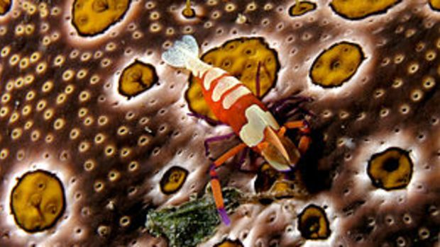 (Emperor shrimp) on Bohadschia argus (Sea cucu...