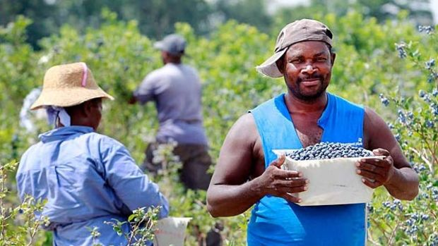 blueberry-workers-from-haiti-600