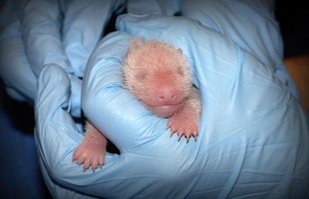 baby panda dc