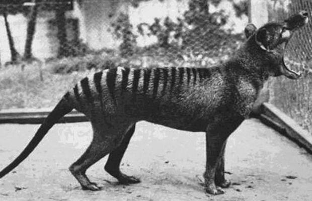 Tasmanian Tiger 1933 (extinct)