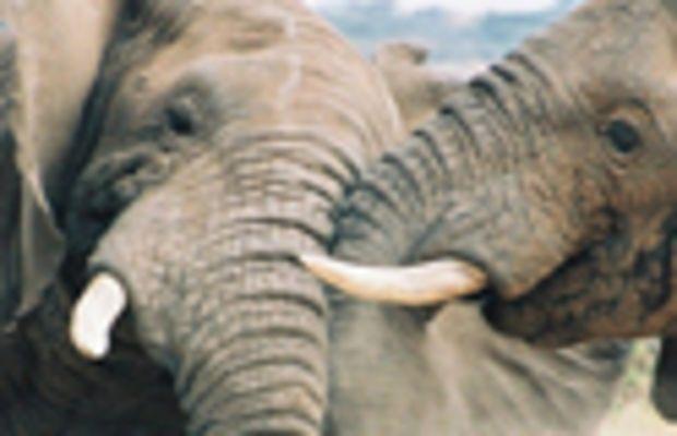 elephants_fighting_280