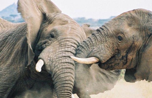 elephants_fighting