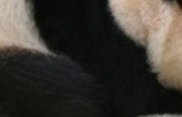 Giant_panda_at_Vienna_Zoo_(cropped)