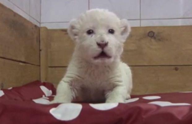 white_lion_cub