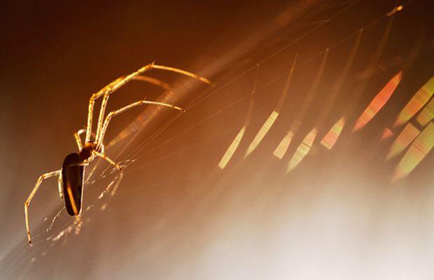 the golden spider by lichtmaedel.
