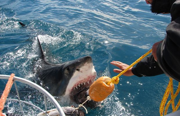White Shark Cage Diving by White Shark Ecoventures.