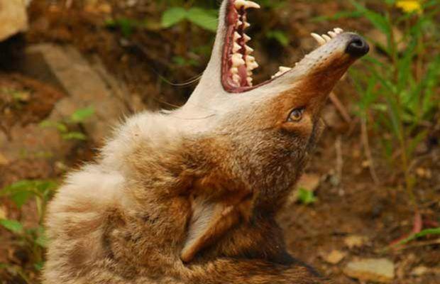 Coyote-Howl by ifilmalaska.