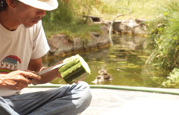 A Shaman prepares the Huachuma cactus