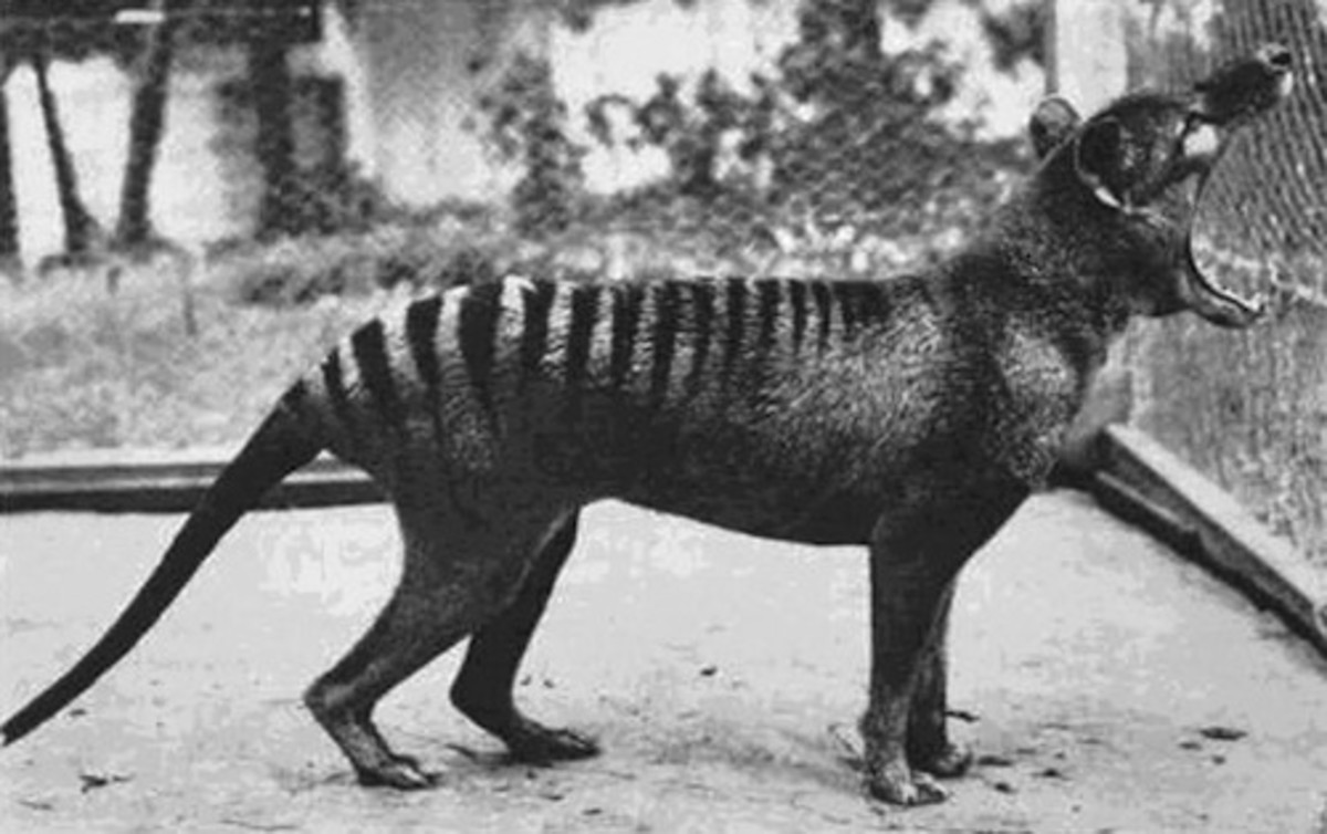 Tasmanian Tiger 1933 (extinct)