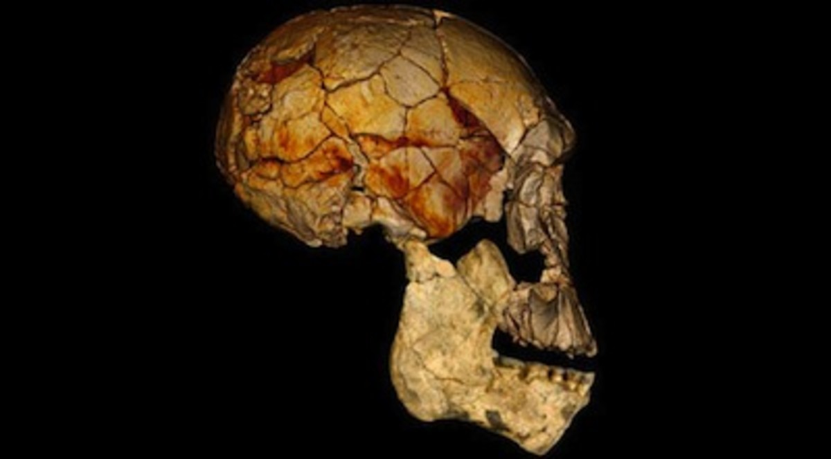 homo-rudolfensis-specimen-lower-jaw