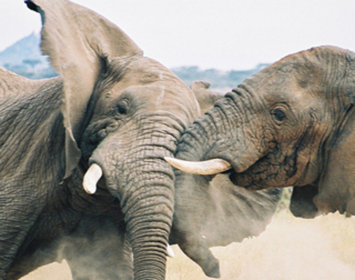 elephants_fighting