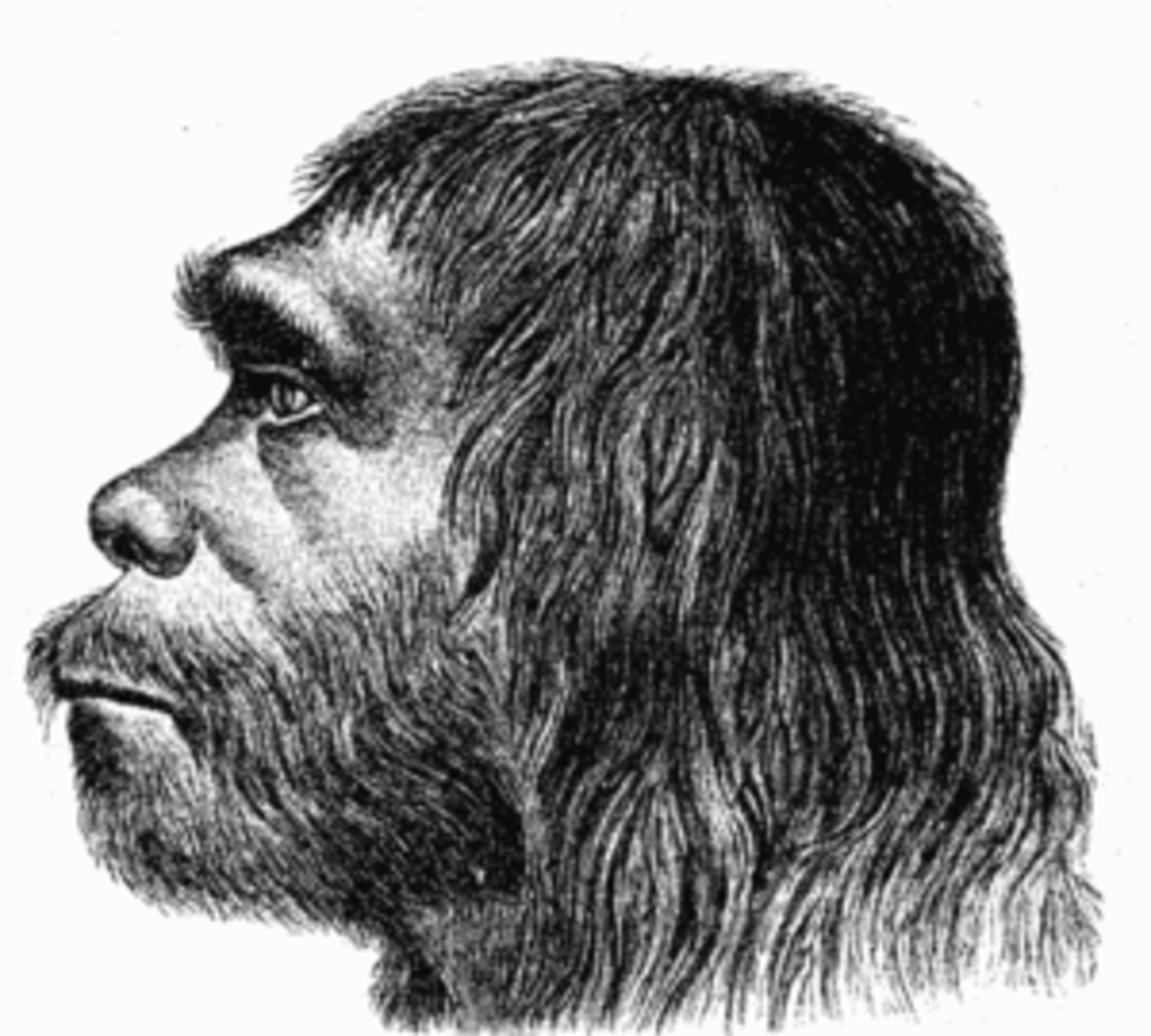 English: First reconstruction of Neanderthal m...