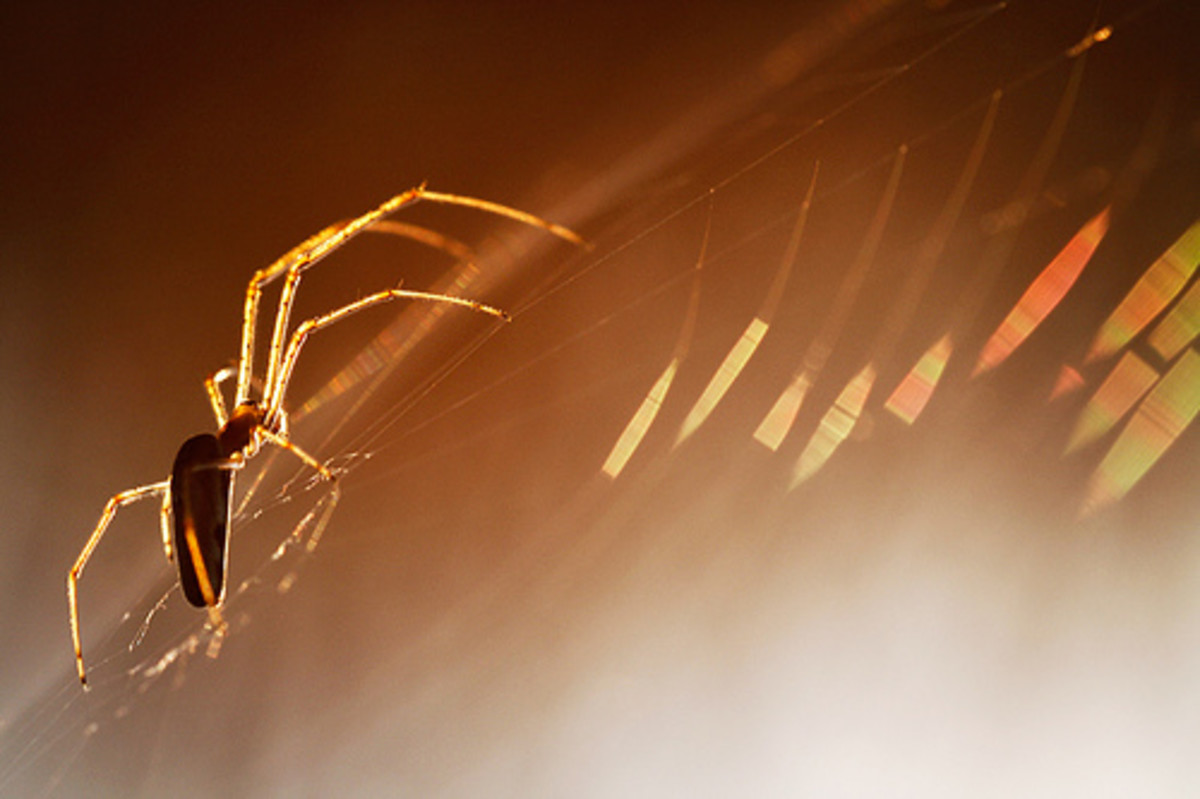 the golden spider by lichtmaedel.