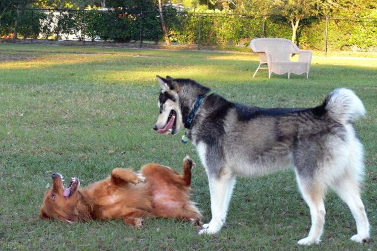 wolf dog.jpg